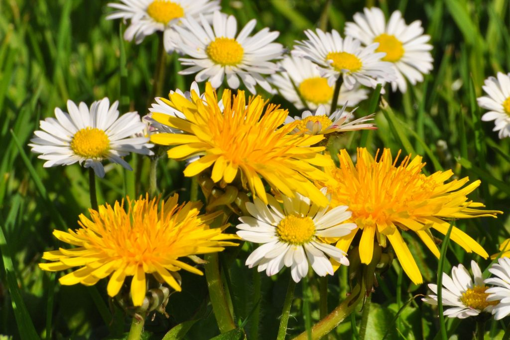 Dandelions and Daisies | Dandelions and English Daisies (With ...