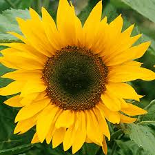 Buy Sunflower single giant - Best Value for Money - Gardens4you